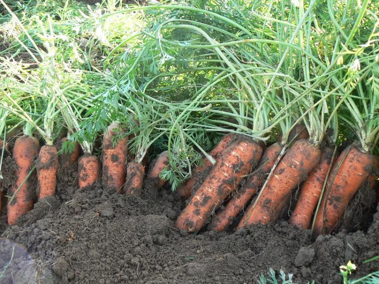 recolte carottes 2 2015.jpg