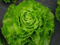 Salade laitue verte