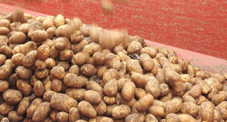 Pommes de terre Florice