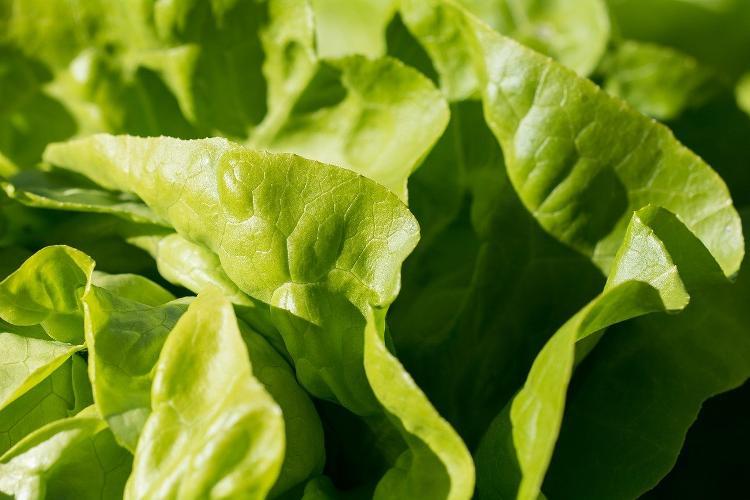 Laitue Bio (verte ou rouge)